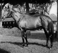 A half-brother to Secretariat (through Somethingroyal), Sir Gaylord was a Turn-To (whose grandsire was Nearco) son who was a favourite going into the 1962 KY Derby.  But a hairline sesamoid fracture started his stud career early.  Lucky for me (and many), he was bred to the My Babu daughter, Missy Baba, whose resulting filly, Gay Missile, was the grand-dam of the Secretariat daughter, Weekend Surprise, who foaled AP Indy.