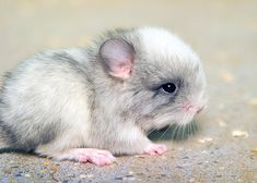 """Baby Chinchilla"""