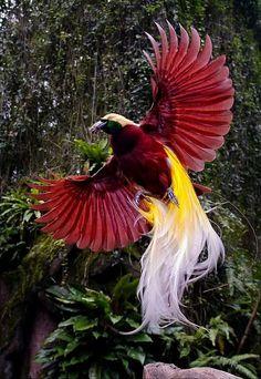 #paradisebird #cendrawasih