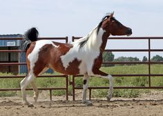 "The Pintabian horse is a breed governed the Pintabian Horse Registry, Inc. These horses carry over 99% Arabian blood but also exhibit the tobiano color pattern, which is not a color pattern found in purebred Arabians. The registry began using the term ""Pintabian"" in 1992 and trademarked the word in 1995. which is the official registering authority for Pintabian horses worldwide. The conformation of Pintabian horses reflects the same ideal desired for the Arabian."