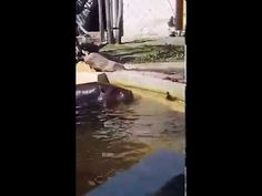 Very Nice Hippos Help Duckling Who Fell Into Their Pool