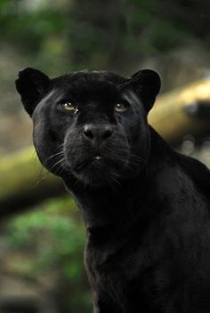 No I haven't got the names from the jungle book wrong, this gorgeous black jaguar is indeed named Mowgli (as oppose to Bagheera, the black Indian leopar. Mowgli the Jaguar Crazy Cats, Big Cats, Cats And Kittens, Siamese Cats, Beautiful Cats, Animals Beautiful, Chat Lion, Animals And Pets, Cute Animals