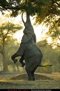 """Is this the Elephant version of the HANG IN THERE kitten poster? No, it's the """"Balancing Act."""" Marlon du Toit took this beautiful Animal Photo at Mana Pools, Zimbabwe. Animals And Pets, Baby Animals, Funny Animals, Cute Animals, Wild Animals, Baby Elephants, Happy Elephant, Elephant Love, Elephant Eating"""