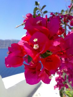 Bouganvilla... a flower that grows abundantly in the Philippines.