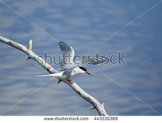 Stock Photo: Common tern (Sterna hirundo) spreading its wings while sitting on a tree branch. Beautiful white bird above blue water of a lake.