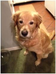 This is Eve - 10 yrs. She is an owner surrender after her family lost their home. She is spayed, current on vaccinations, potty & crate trained, has good house manners & gets along with other dogs. Eve is a little confused about the changes in her life but is settling into foster. She is looking for a forever home and is at  GREAT Rescue of NE Florida.