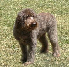 What a sweet dog. Goldendoodle | Goldendoodle Information