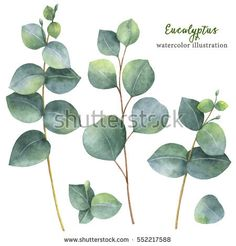 Watercolor hand painted set with silver dollar eucalyptus leaves and branches. Floral illustration isolated on white background.
