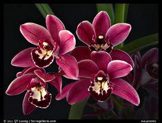 Cymbidium Cherry Cola 'Geyserland'. A hybrid orchid (color)