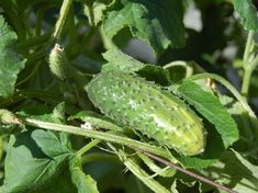 You can raise cucumbers regardless of how much area you possess especially when you use a trellis. Stop worrying about how to grow cucumbers in a greenhouse. We have prepared that for you. Cucumber Seeds, Cucumber Plant, Planting Vegetables, Growing Vegetables, Vegetable Garden, Veggies, Greenhouse Gardening, Container Gardening, Gardens