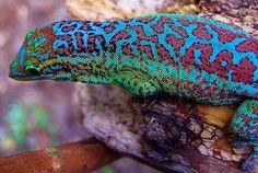 Réunion Island day gecko, Phelsuma borbonica
