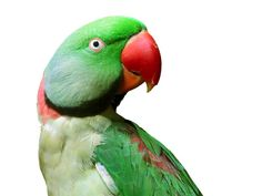 They average lifespan of an Alexandrine Parrot is about 40 years with proper care and diet. Description from loveyourparrot.com. I searched for this on bing.com/images
