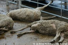 Sheep are being beaten bloody. Here's what you can do about it.