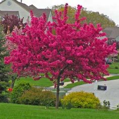 A Fiery Explosion of Vibrant Blossoms in Springtime Prairifire Crabapple tree Malus x Prairifire is one of the showiest trees you can plant in your yard In early spring. Flower Landscape, Garden Landscape Design, Landscape Steps, Nice Landscape, Summer Landscape, Watercolor Landscape, Landscape Paintings, Landscaping Trees, Front Yard Landscaping