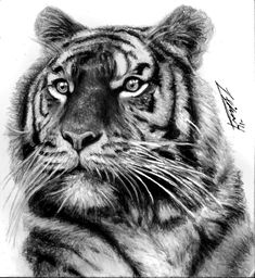 Tiger Tattoo by Yankeestyle94 on deviantART