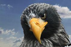 El pigargo gigante o pigargo de Steller (Haliaeetus pelagicus)  El enorme pico…