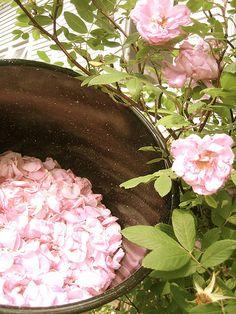 Cómo hacer tu propia agua de rosas. https://www.facebook.com/fengshuitradicionalmexicocursos