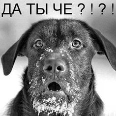 Ни фига! Animals And Pets, Funny Animals, Russian Humor, Kitten Images, Funny Phrases, Snow Dogs, Funny Dogs, Pranks, Best Dogs