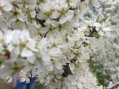 Endlich wird es Frühling. Auf der Teufelsley in Altenahr blühen die Schlehen.