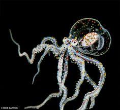 Octopus (Wunderpuss photogenicus) in Anilao - Philippines Beautiful Sea Creatures, Deep Sea Creatures, Creepy Animals, Odd Animals, Octopus Species, Life Under The Sea, Salt Water Fish, Underwater Creatures, Sea Fish