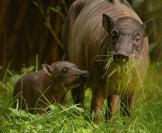 Babirusa piglet and mum Kendari (11)