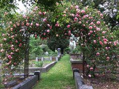 Die Rose 'Souvenir de Madame Léonie Viennot' (Alexandre Bernaix Frankreich 1898) blüht gerade auf dem Historischen Stadt-Friedhof in kalifornischen Sacramento. Malerisch überbrück diese Halbschatten liebende Noisette-Teerose den Weg zwischen zwei alten Gräbern. Das aktuelle Bild verdanken wir Pat Taylor Schink.