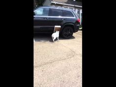Dog Trades Ability To See For A Cardboard Box, Couldn't Be Happier...FUNNY as hell, but NEVER let your pet/kids do this in a parking lot for Christ's sake!!!!  #FunnyButUseYourBrains