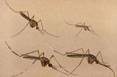 General Information About Mosquitoes
