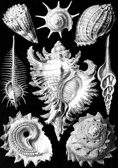 "unhistorical: "" Ammonitida and Prosobranchia from Ernst Haeckel's Kunstformen der Natur (Art Forms of Nature), 1904. """