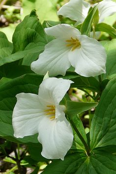 Large Flowered Trillium (Trillium grandiflorum) Near Hostas Garden Shrubs, Shade Garden, Garden Plants, Woodland Plants, Woodland Garden, Woodland Flowers, Fall Plants, Shade Plants, White Flowers