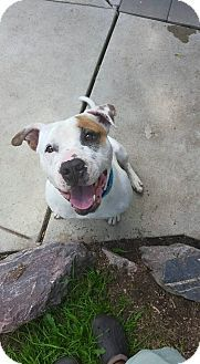 American Bulldog/Terrier (Unknown Type, Medium) Mix Dog for adoption in Detroit, Michigan - Butterball