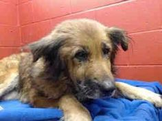 12 year old GSD defeated!!! Just lays there moping and only 46 pounds- Downey labeled her as terrier incorrectly. SOS for rescue please!!! This is heartbreaking beyond belief!!!!! Animal ID: A4788224 I don't have a name yet and I'm an approximately 12 year old female terrier. I am not yet spayed. I have been at the Downey Animal Care Center since December 30, 2014. I am available on January 4, 2015. You can visit me at my temporary home at D220. ...
