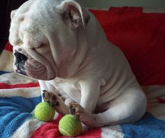 "❤ ""Guarding' my Balls"" ❤ Posted on Baggy Bulldogs"