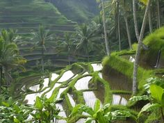 Rice Paddy Terraces - Bali - Indonesia