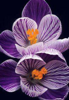 purple Crocus!