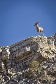 Here is another photo of the same Desert Bighorn taken during a hike along the Pinto Valley Trail in the Lake Mead NRA. After the previous photo our surprise Lake Mead, Las Vegas Strip, Cruises, Vacations, Trail, Deserts, Hiking, Tours, Landscape