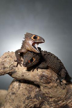 Crocodile Skink by Fuadi Afif on 500px