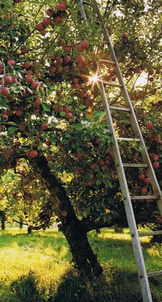 This reminds me of my youthful days of stealing apples out of the grumpy old man's  trees who lived next door to us. I would always get busted because I kept forgetting to put the ladder back,lol.