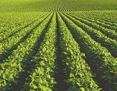 plantación de yerba mate