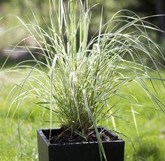 Brokbladigt tuvrör 'Overdam', förslag till gräs i kruka