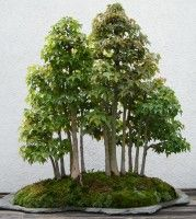 Description Trident Maple Bonsai 203 May 29 2011 B Jpg