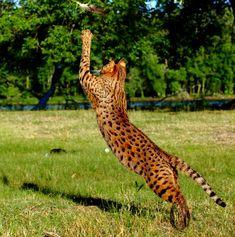 client brag page savannah cats select exotics savannahcats