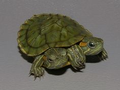 red-eared slider turtle | Photos of Two Headed Red Eared Slider, Trachemys scripta elegans