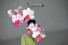 phal liu's berry | Phalaenopsis Flowerpower Juni 2012