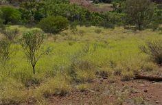 Swath of summer green; Kata Tjuta or the Olgas; New Territory, Australia.  January 2014.