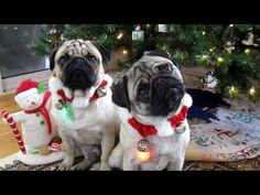 Pugs do the Head Tilt for Christmas