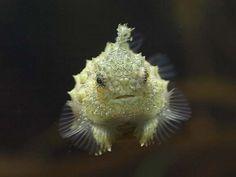 pacific spiny lumpsucker | Tumblr