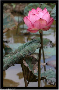 Bildresultat för lotusblomma