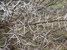 thornbushes.JPG (1600×1200)