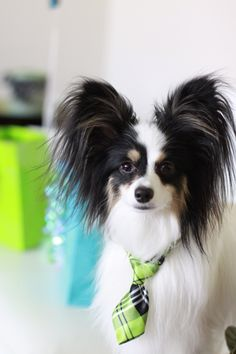 'I'll be in my office if anybody needs me' Smart Office Bod Papillon Dog.